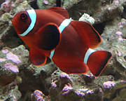 Clown Fish Photos - Maroon Clown Fish by John Baumgartner