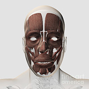 Human Head Digital Art - Medical Illustration Of Male Facial by Stocktrek Images