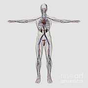 Femoral Artery Posters - Medical Illustration Of Male Poster by Stocktrek Images