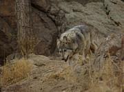 Wolves Photos - Mexican Grey Wolf by Ernie Echols