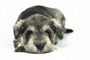 Mini Schnauzer Puppy Framed Prints - Mini Schnauzer Puppy Framed Print by Serene Maisey