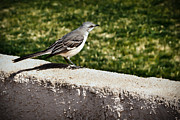 Mockingbird Print by Robert Bales