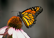 Monarch Butterfly Print by Bob Orsillo