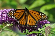 Cheryl Cencich - Monarch butterfly