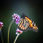 Backlit Framed Prints - Monarch butterfly Framed Print by Elena Elisseeva