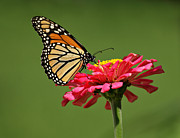 Butterfly On Flower Prints - Monarch Butterfly Print by Sandy Keeton