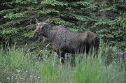 Moose Photos - Moose by Debra  Miller