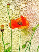 Pods Framed Prints - Morning Poppy Framed Print by Chris Berry