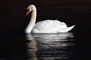 Mute Swan Print by Jim Nelson