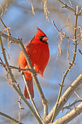 Northern Cardinal - Male Print by Jim Nelson
