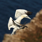 Sea Bird Posters - Northern Gannet Poster by Grant Glendinning