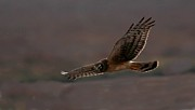 Elka Lange - northern Harrier