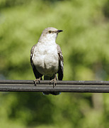 Mocking Framed Prints - Northern Mocking Bird Framed Print by David Lester