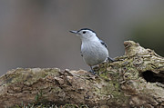 Nuthatch Print by Jim Nelson