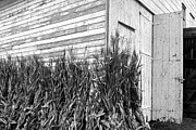 Cornstalks Prints - Old Barn and Cornstalks Print by Photographic Arts And Design Studio