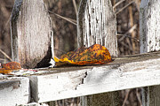 Autumn Leaf Photos - Old Picket Fence by Bonnie Bruno