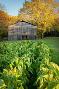 Natchez Trace Prints - Old Tobacco Barn Print by Brian Jannsen