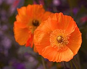 Floral Artwork Framed Prints - Orange Poppies Framed Print by Rona Black