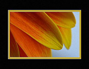 Matting Photo Framed Prints - Orange/Yellow Gerbera Close-Up Framed Print by Charles Feagans