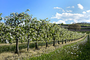 Apple Tree Prints - Orchard blooming apple trees. Print by Bernard Jaubert
