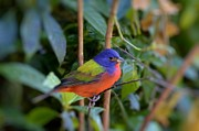 Bill Hosford - Painted Bunting