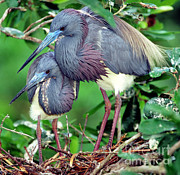 Breeding Posters - Pair Of Tricolored Heron At Nest Poster by Millard H. Sharp