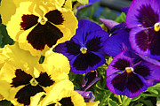 Violet Bloom Photos - Pansies by Elena Elisseeva