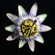 Passion Fruit Prints - Passion Flower  Print by Debra Thompson