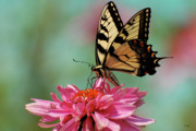 Swallowtail Prints - Pastel Print by Lois Bryan