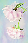 Floral Photographs Photos - Pastel Peonies by Theresa Tahara