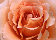 Etti Palitz Prints - Peach Rose Print by Etti PALITZ