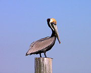 Aquatic Bird Posters - Pelican Perch Poster by Al Powell Photography USA
