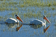 Sandra Bronstein Photo Posters - Pelicans in Hayden Valley Poster by Sandra Bronstein
