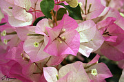 Ornamental Plants Framed Prints - Pink Bougainvillea Framed Print by Ellen Henneke