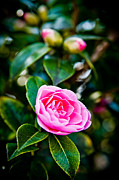 Theaceae Framed Prints - Pink Camellia Framed Print by Mark Llewellyn