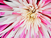 Isolated On Black Background Posters - Pink Chrysanthemum Flower Isolated on Black Background. Macro  Poster by Laurent Lucuix