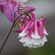 Michael D. Friedman Prints - Pink Columbine Print by Michael Friedman