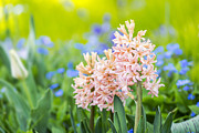Gardening Photography Framed Prints - Pink Hyacinth - VanDusen Botanical Garden Framed Print by May L