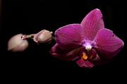 Pink Orchid Print by Tommy Hammarsten