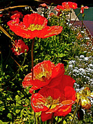 Ca Poppies Prints - Poppies near Fishermans Wharf in San Francisco-CA Print by Ruth Hager