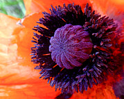 Orange Posters - Poppy Poster by Rona Black