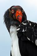 Nick  Biemans - Portrait of a king vulture