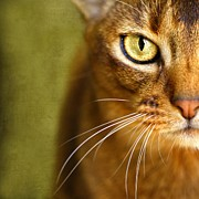 Cat Portraits Photo Prints - Portrait of an Abyssinian cat with textures Print by Wolf Shadow  Photography