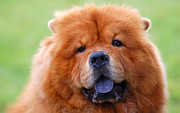 Drool Posters - Portrait of Chow Chow Dog Poster by Michal Bednarek