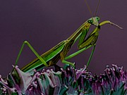 Quick Posters - Praying Mantis Time For A Cleaning Poster by Leslie Crotty