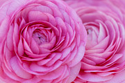 Terry L Ellis Prints - Pretty Pink Ranunculus Print by Terry Ellis
