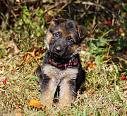 Alsatian Photos - Pretty Puppy by Sandy Keeton