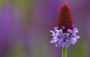 Primula Vialii  Print by Zoe Ferrie