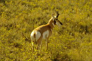 Pronghorn Framed Prints - Pronghorn Framed Print by Jeff  Swan