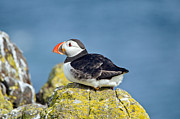 Puffin On Cliff Print by M S Photography Art